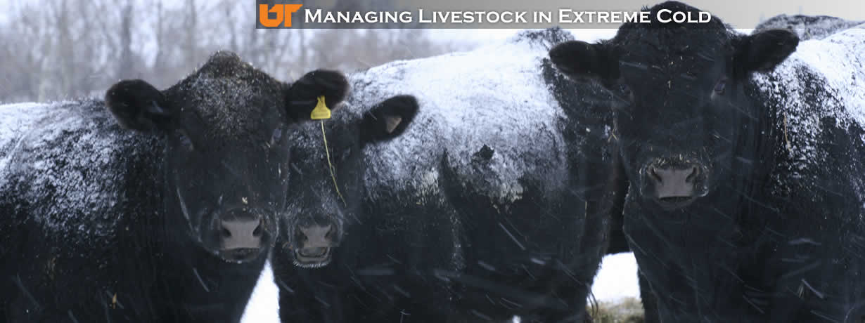 Managing Livestock in Extreme Cold Weather